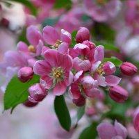 Розовый вальс цветов... :: Ольга Русанова (olg-rusanowa2010)
