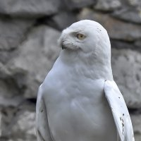 Белая сова :: Alexandr Zykov