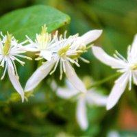 Клематис мелкоцветковый :: Светлана
