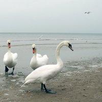 Лебеди и море.. :: Elena N