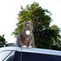 Почему кошки не летают? :) :: Elena N