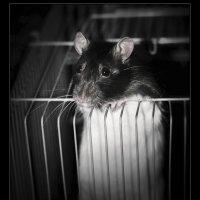 Про крысу :: Игорь Овсянников