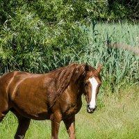 Лошадь рыжей масти. :: Валерий Изотов