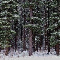 В кедровом лесу :: Вера Андреева