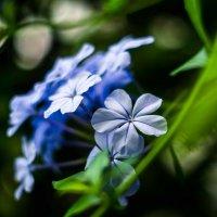 Цветы :: Иван Белашов