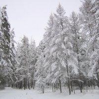 Снежные наряды леса . :: Мила Бовкун