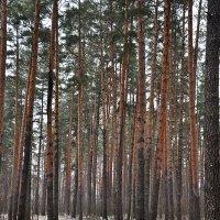 Через сосновый бор. :: Андрей Синицын