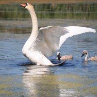 Семья лебедей :: Igor Fursov