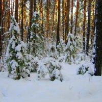 В лесу родились ёлочки. :: Мила Бовкун