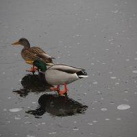 По тонкому льду.... :: Tatiana Markova