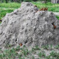 Танзания. Карликовые мангусты. :: Елена Савчук