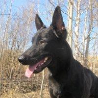 Недворянин, а очень даже породная собака :: Ольга ОК Попова