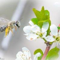 полет пчелы :: Михаил Шпигельман