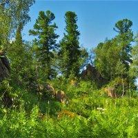 Сибирские кедры :: Сергей Чиняев
