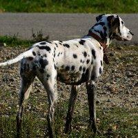 Собаки грязи не боятся!!! :: Игорь Сикорский