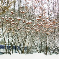 Как нежно снег обнял рябину :: раиса Орловская