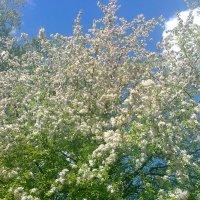 Яблоня в цвету :: Виктор Мухин