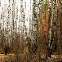 Два леса. :: Борис Митрохин