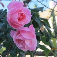 розовые розы :: Герович Лилия