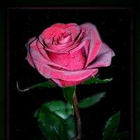 Роза — она, как женщина... :: Людмила Богданова (Скачко)