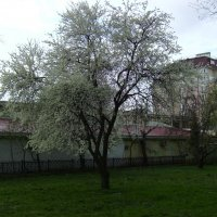 Белая  черёмуха  душистая ..... :: Андрей  Васильевич Коляскин