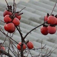 Декабрь (хурма) :: azer Zade