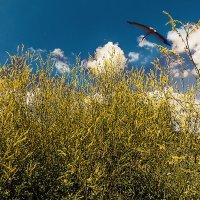 Цветение желтого донника. :: Валерий Изотов