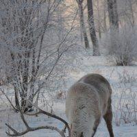 Северный олень :: Светлана Грызлова