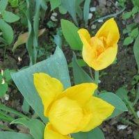 Желтые тюльпаны :: Дмитрий Никитин