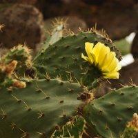Прекрасные колючки!! Цветущие кактусы все-таки  фантастические создания! :: Юлiя :))
