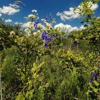 Цветение луговых трав в июне. :: Валерий Изотов