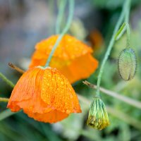 Северные полевые цветы после дождя :: Ирина Алешина