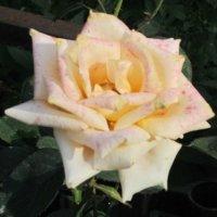 Красивая роза :: Дмитрий Никитин