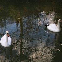 Два лебедя :: valeriy khlopunov