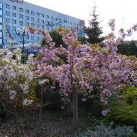 Цветущие  деревья  в  Ивано - Франковске :: Андрей  Васильевич Коляскин