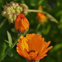 Лето радует цветами... :: Татьяна Кретова