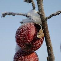 Яблочки морозильные :: Константин Строев