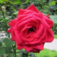 Красная царица всех цветов :: Дмитрий Никитин