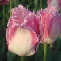 тюльпаны...одни из любимых... :: helga 2015