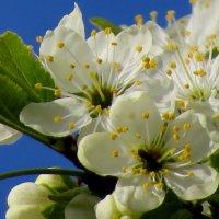 Цветущий май :: Светлана