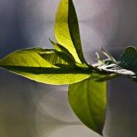 Весенняя зелень :: Клиентова Алиса