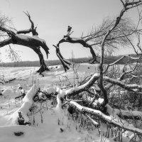 Сгоревшее дерево :: Сергей Корнев