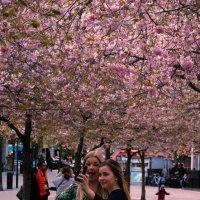 вишня цветёт :: liudmila drake
