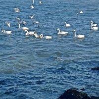А вот и лебеди прилетели :: Татьяна Миронова