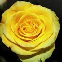 Роза :: Артем Хххххххххх