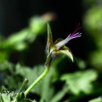 Рождение цветка :: Николай Волков