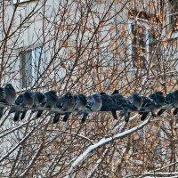 Прохладно, -22, голуби компактно скучковались на проводе. :: Пётр Сесекин