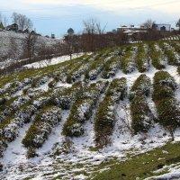 Чайные плантации под снегом. :: Larisa Gavlovskaya
