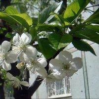 Нежная веточка вишни под моим окном :: Нина Корешкова