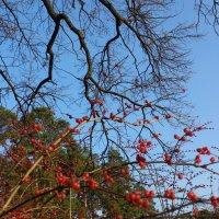 Осенние ягоды :: Ira Chupryna